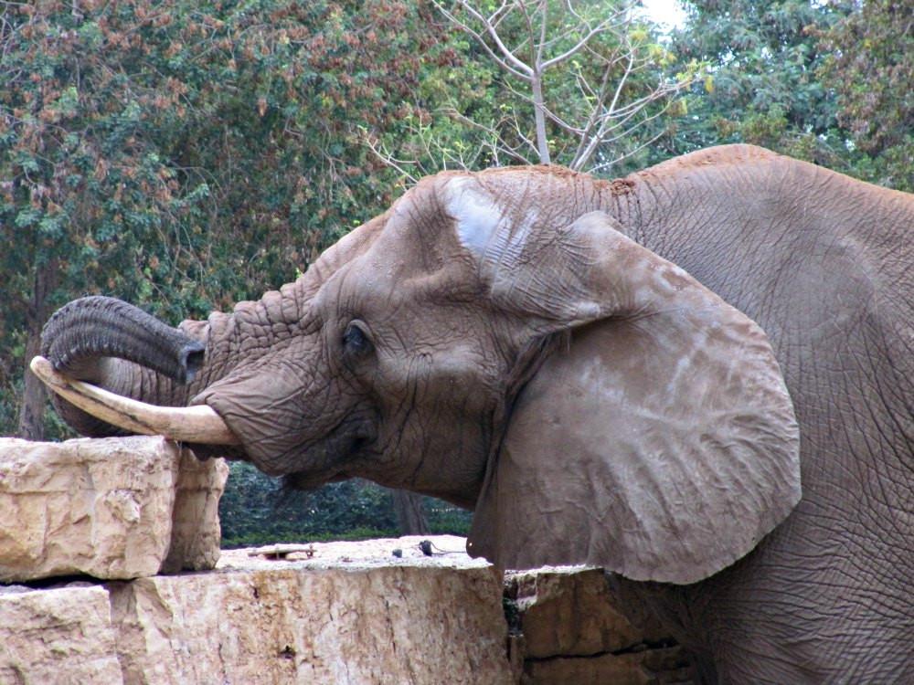 Elefant at Ramat Gan Safari Park