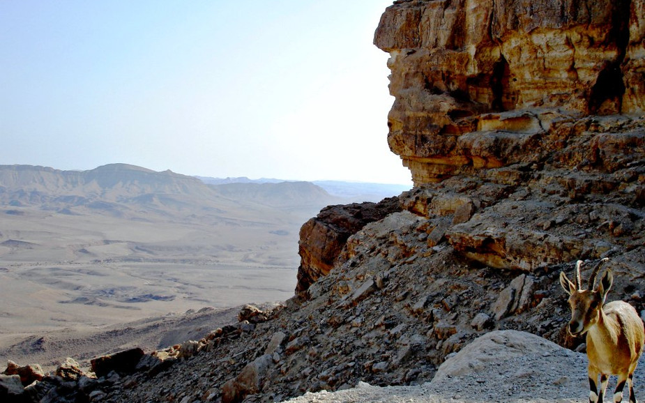 Nubian Ibex at Ramon Crater