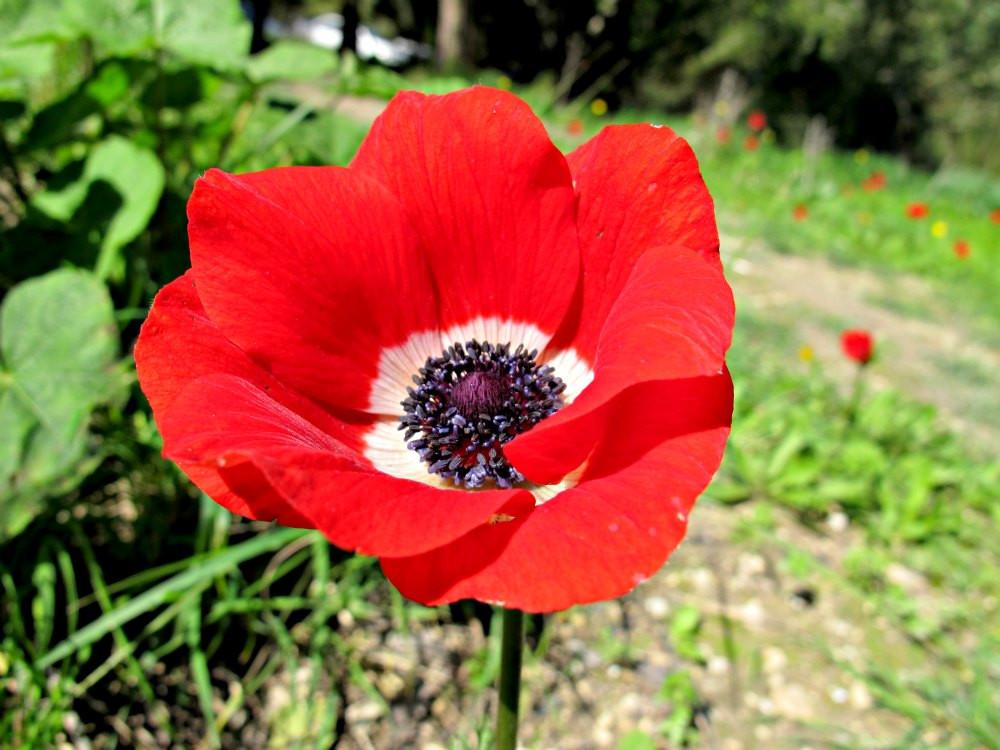 Crown Anemone - Kalanit - Red Flowers at Nahal HaShofet