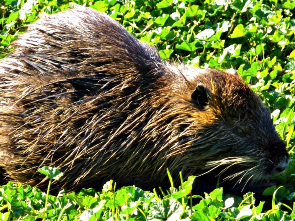 Water Rat - Hula Nature Reserve