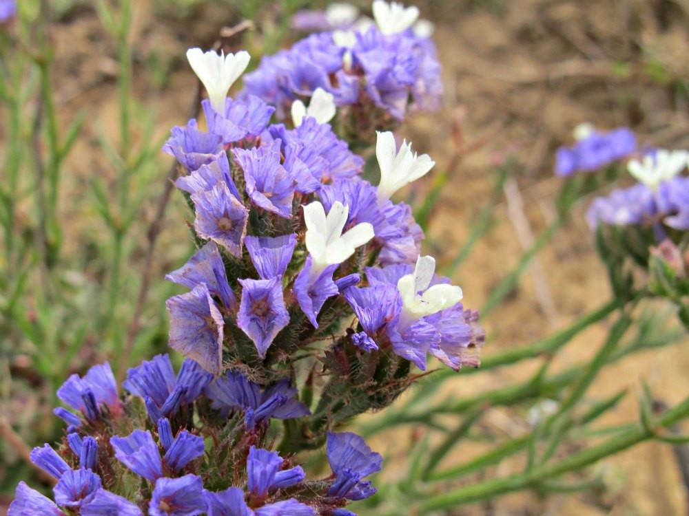 Purple Flowers in Sharon Beach National Park