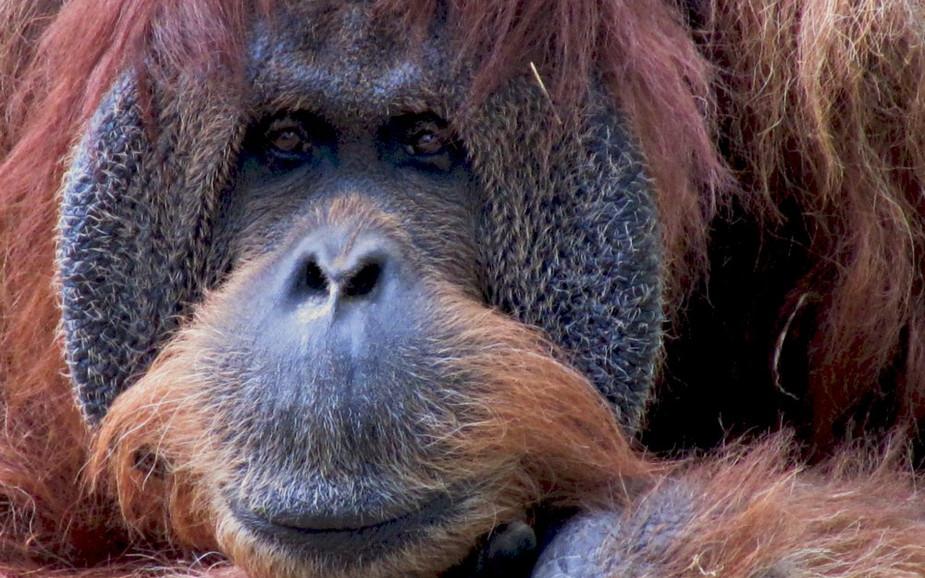 Orangutan at Ramat Gan Safari Park