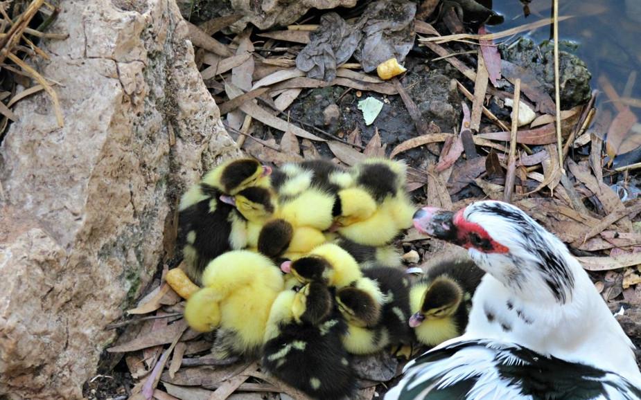 Ducks at Ramat Gan Park Leumi