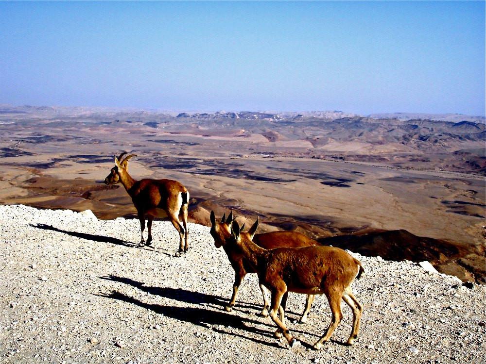 Nubian Ibexes at Ramon Crater