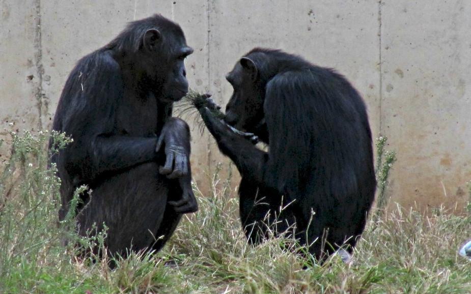 Chimpanzees at Ramat Gan Safari Park