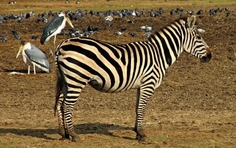 Zebra at Ramat Gan Safari Park