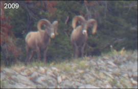 sheep-hunt2009-02 (1).jpg