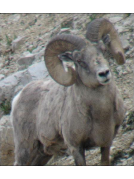sheep-hunt2008gregg01.jpg