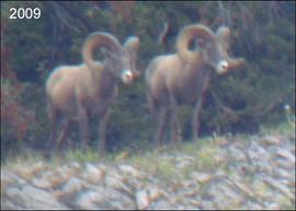 sheep-hunt2009-01.jpg