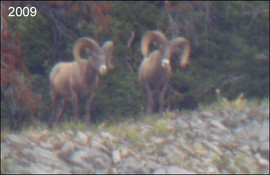 sheep-hunt2009-02.jpg