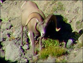 sheep-hunt2008-15.jpg
