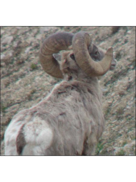 sheep-hunt2008gregg02.jpg