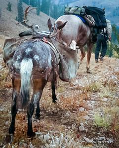 horse-mule-country21.jpg