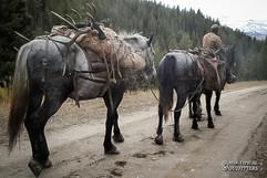 horse-mule-country15.jpg