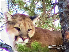 non-typical-mountain-lion01.jpg