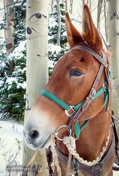 horse-mule-country30.jpg