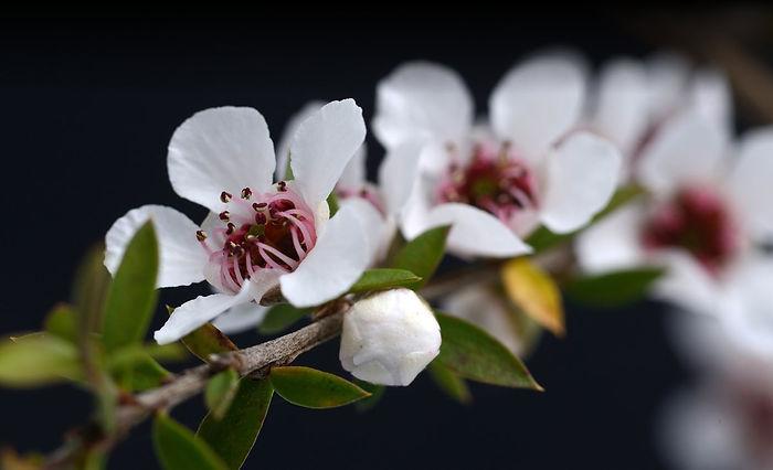 Manuka Pflanze, Leptospermum Scoparium, Manuka Blüte