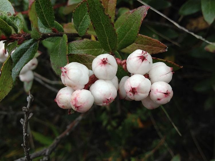 Australian Natives Snowberries