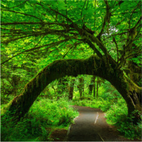 Olympic National Park's Hoh-Rainforest in Washington, USA
