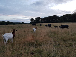goats and cows Gower Meadow Beef