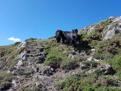 Jane Douglas herding cows at overton