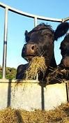 Gower Meadow Beef Cattle