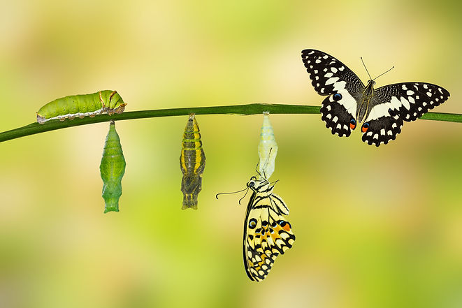 Transformation of Lime Butterfly ( papil