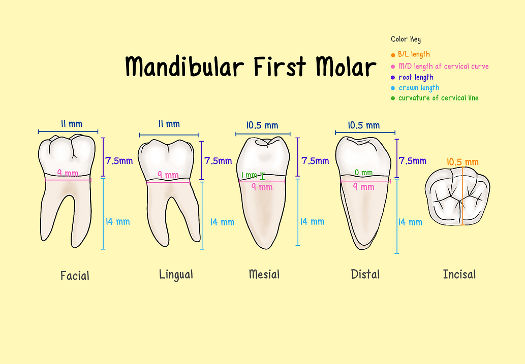 Mandibular First Molar (9).png