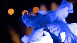 night iris 6