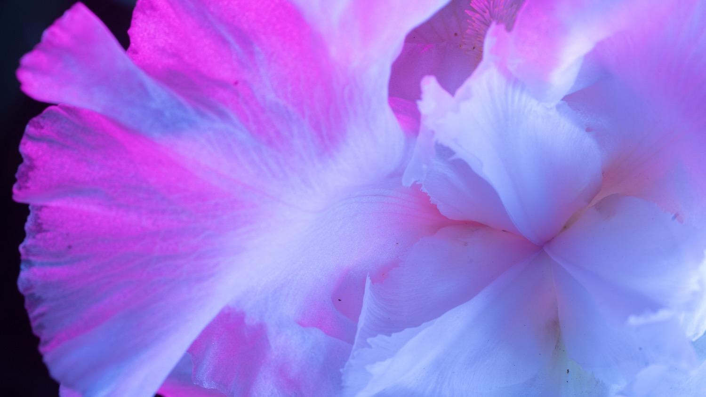 night iris 7