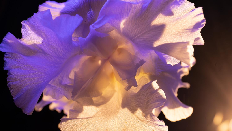 night iris 1