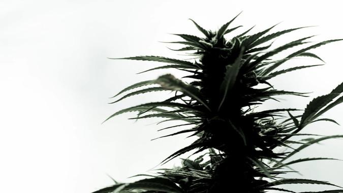 cannabis 1-9.jpg