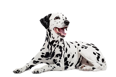 dalmation_edited_edited.png