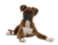 boxerpuppy_edited.png