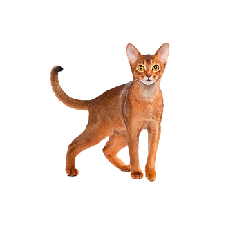 Abyssiniankitty_edited_edited.png