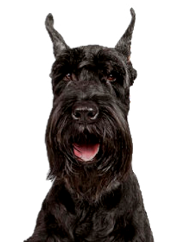 Giant-Schnauzer_edited.png