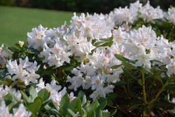 Rododendron Cunningham White