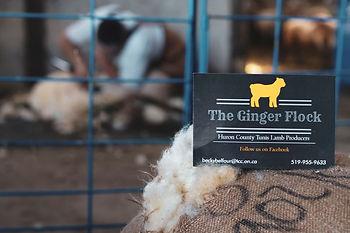 gingerflock_shearingtest_edited.jpg