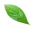 hoja.png