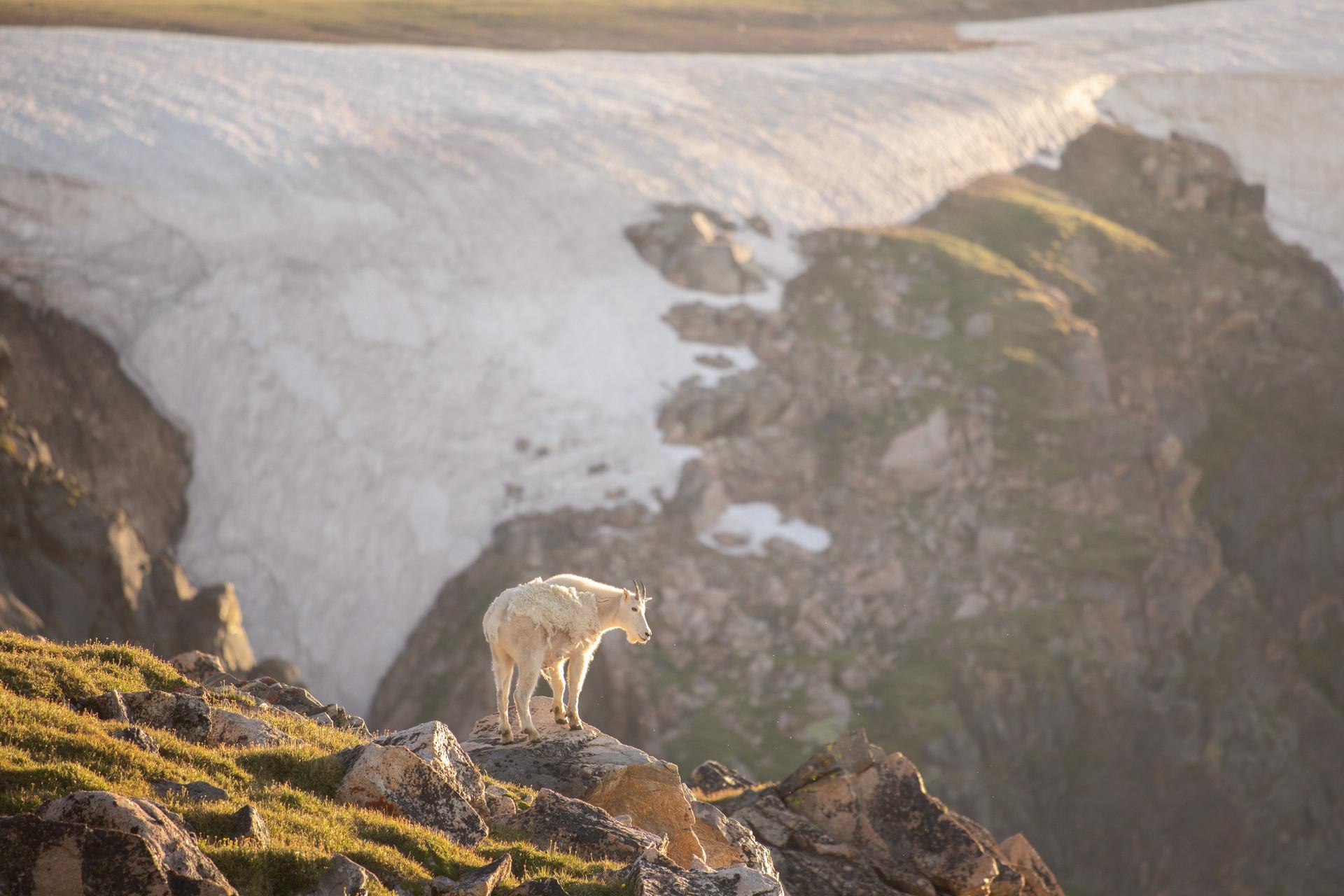 Mountain Goat Views