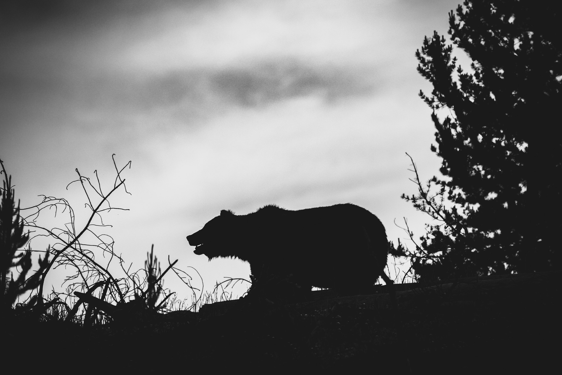 Grizzly Silhouette