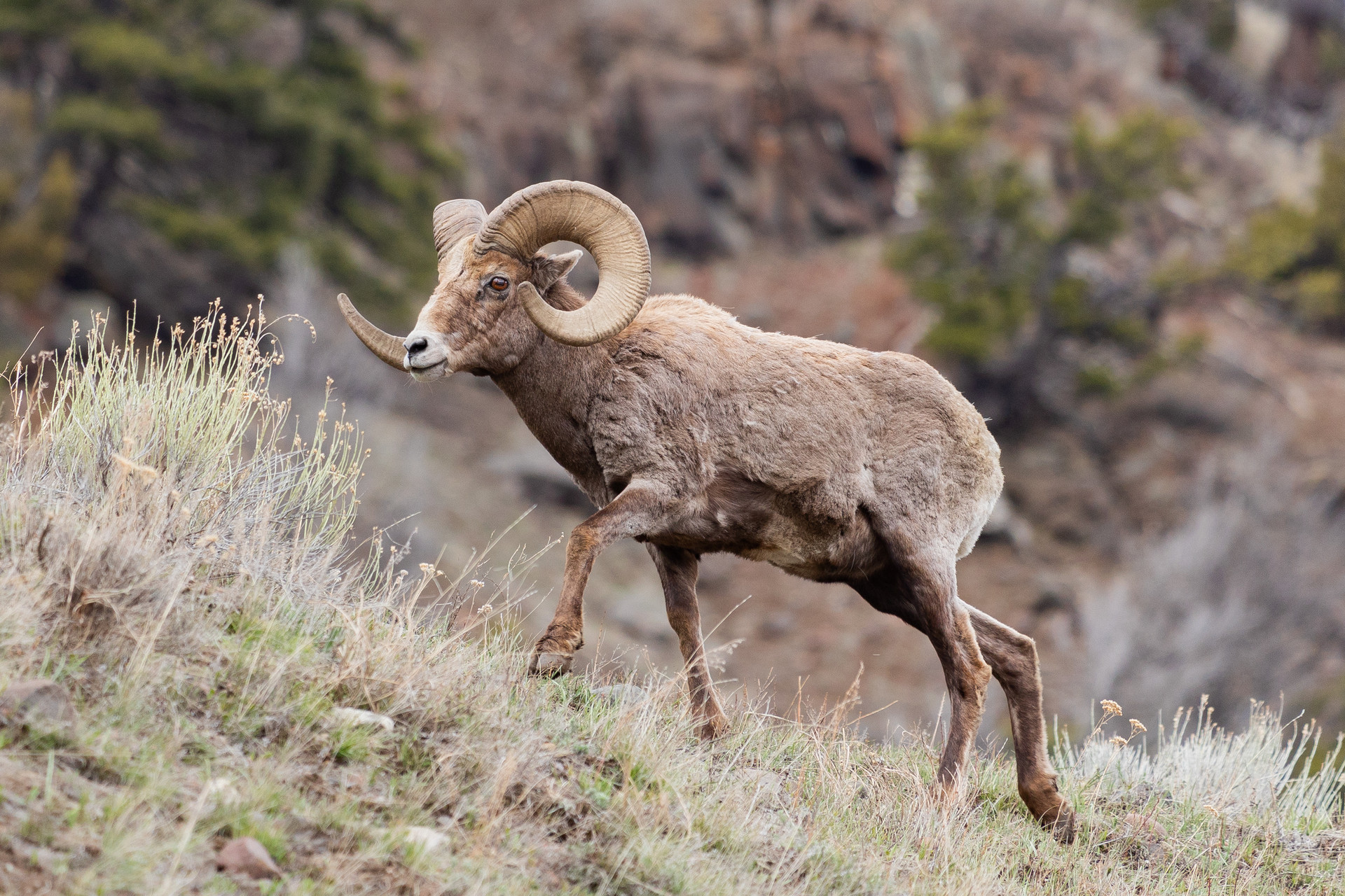 Big Horn of Yellowstone