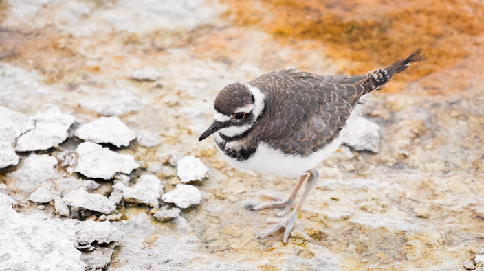 Yellowstone Killdeer