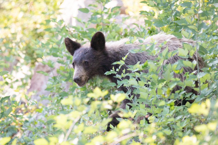 Yosemite Black Bear