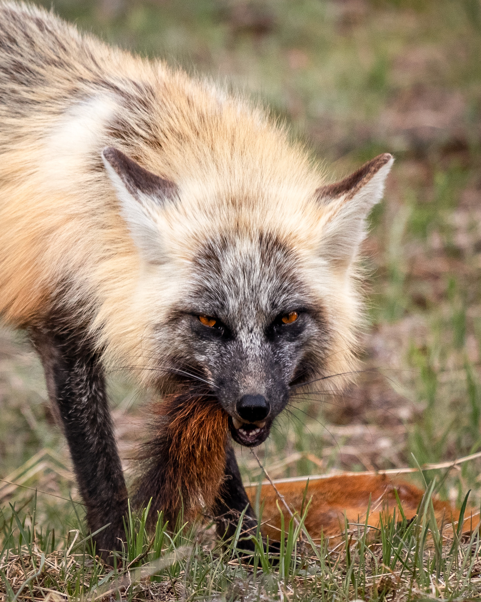 Cross Fox Hunt