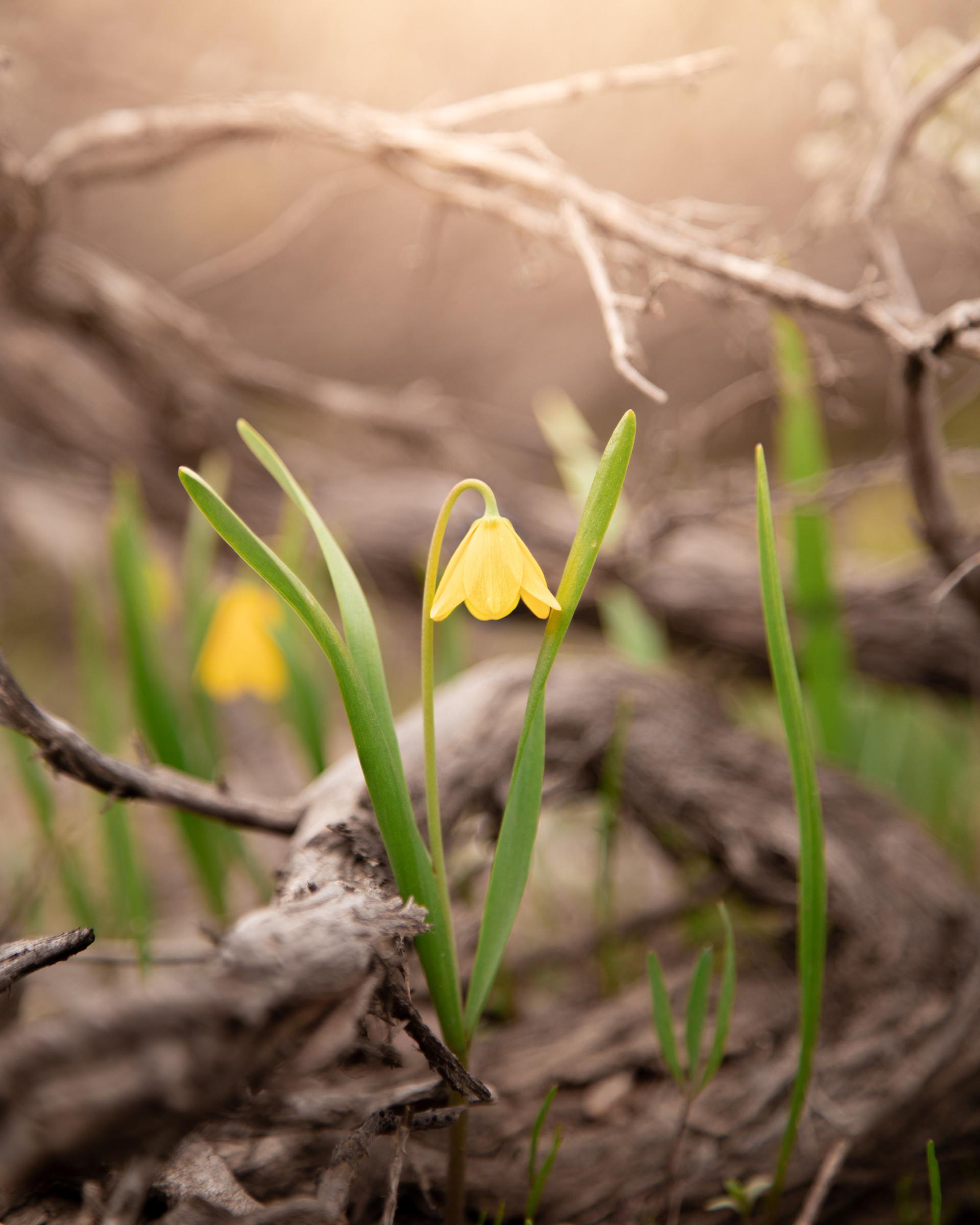 Yellow Bell Teton Wildflower