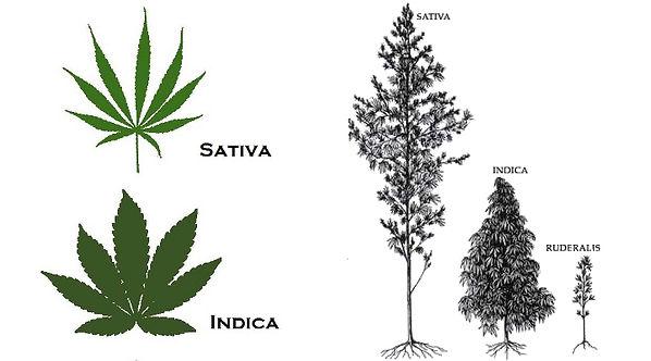 indica-vs-sativa-2-06-19.jpg
