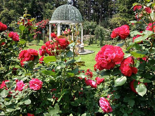 5x7 Print - Rose Garden with Gazebo