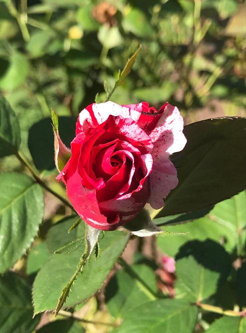 5x7 Print - Peppermint Rose Bud