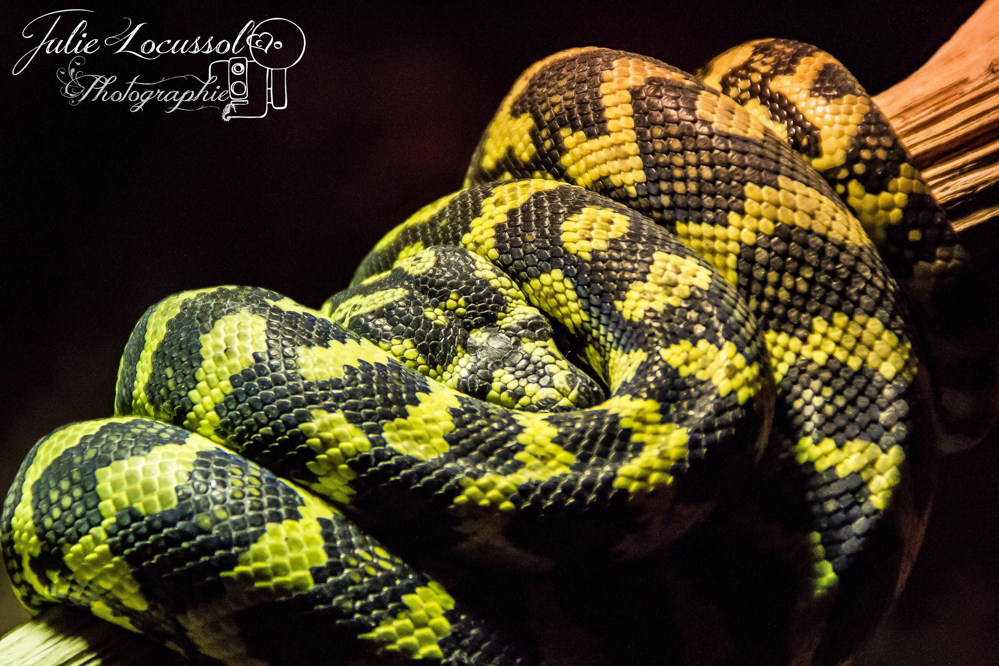 python tacheté (Morelia spilota chey